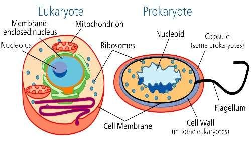 Differenze e analogie tra cellula procariota ed eucariota