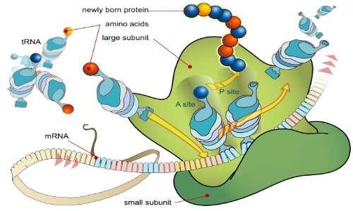 I ribosomi sono presenti in entrambi i tipi cellulari.