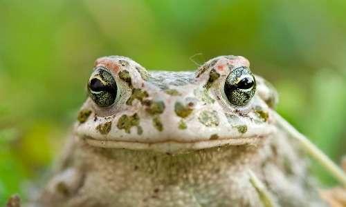 Gli occhi del rospo smeraldino hanno le pupille a barra