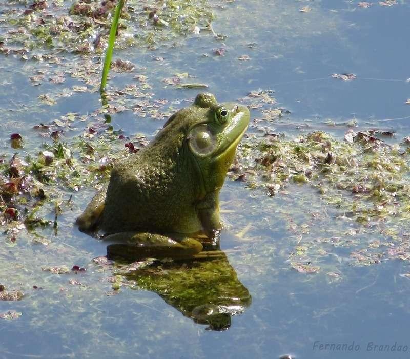 Uno stagno con una rana toro