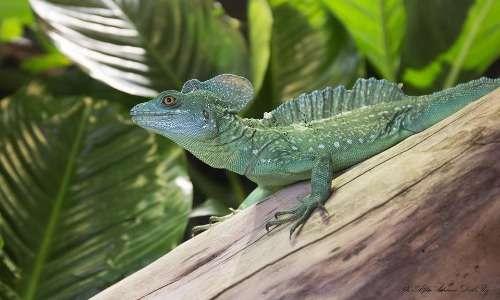 Il basilisco è endemico di aree del centro America, abitando per lo più foreste tropicali e temperate.