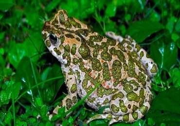 Il rospo smeraldino è caratterizzato da una colorazione irregolare sul dorso