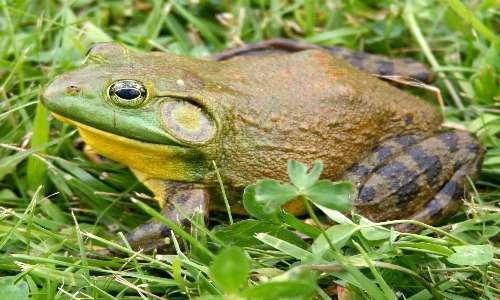 La rana toro è una rana