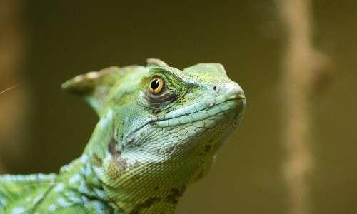 Il basilisco piumato è l'esemplare più conosciuto di questo genere di rettili.
