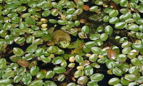 La rana toro depone le uova in prossimità di acque stagnanti