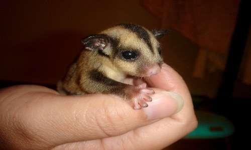 Un cucciolo di petauro dello zucchero. Appena nati pesano pochi grammi e stanno comodamente nel palmo di una mano.