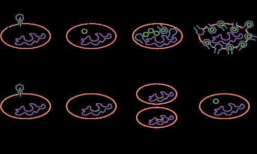 Ciclo lisogenico e litico per il clonaggio