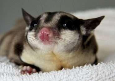 Il petauro dello zucchero, anche da adulto resta un animale mammifero molto piccolo.