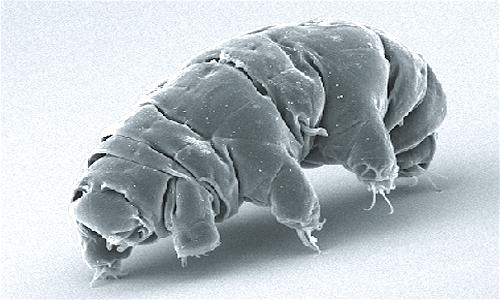 Il tardigrado è un microscopico animale appartenente ai protostomi
