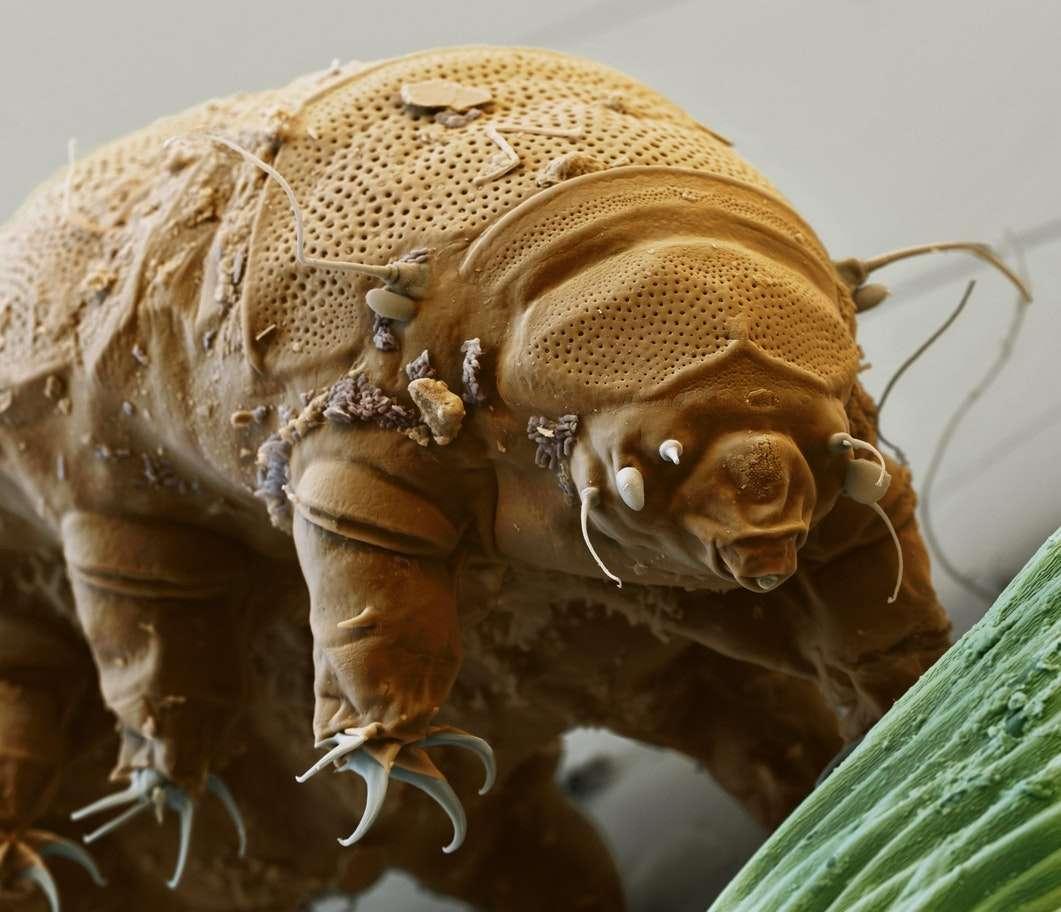 Il tardigrado è un organismo microscopico acquatico