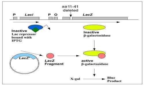 Schema di funzionamento di una alpha-complementazione per un clonaggio