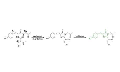 Questi tre amminoacidi conferiscono la fluorescenza alla GFP