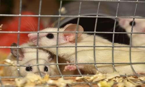 I topi da laboratorio alla base degli esperimenti del Rat Park.