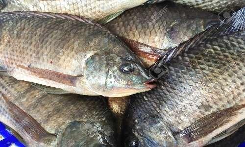 collagene marino prelevato da tilapia