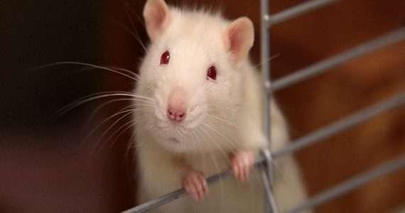 topo in gabbia simile ai caged nel Rat Park