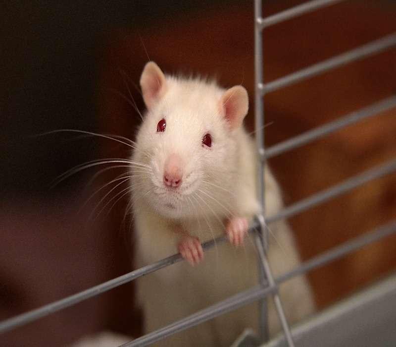 Topo in gabbia simile ai caged nel Rat Park.