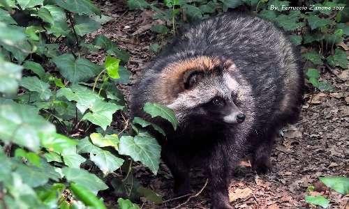 L'orsetto lavatore può apparire più scuro: il pelo del procione può presentarsi tutto screziato di macchie nere o marroni scure.