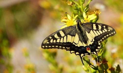 Il macaone è una farfalla e quindi un lepidottero. In quanto tale fa parte dell'ordine degli insetti.