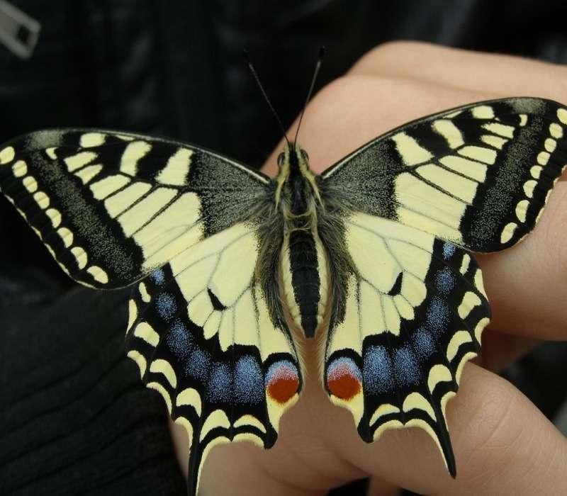 Il macaone è una farfalla gialla e nera. La sua colorazione caratteristica e costituisce una peculiarità utile al riconoscimento tassonomico.