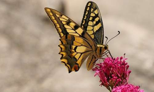 Il macaone è una farfalla molto comune in diverse aree del mondo. I suoi colori sgargianti sono caratteristici.