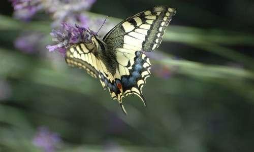 Il macaone allo stadio di farfalla si presenta con le ali dal colore giallo-nero con screziature blu e due piccole macchiette rosse.