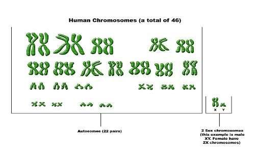 Il cromosoma x è un cromosoma sessuale, in coppia con un altro X o con un cromosoma Y determina il sesso dell'individuo.