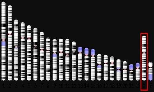 Il cromosoma x è il penultimo in figura, evidenziato da un rettangolo rosso. Evidentemente è molto più grande dell'y.