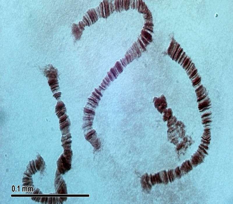 Il cromosoma x e il cromosoma y sono i cromosomi sessuali dell'essere umano e dei mammiferi in generale.