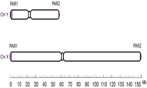 Il cromosoma X ha regioni pseudoautosomiche con il cromosoma Y. Ciò significa che alcuni geni presenti su X sono omologhi su Y.