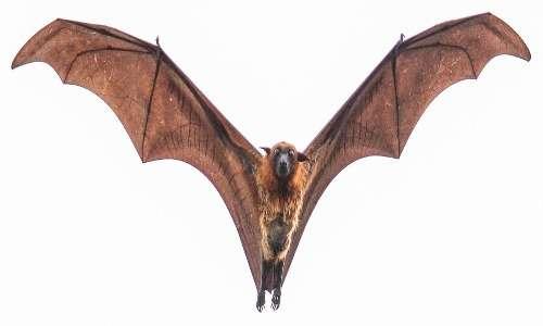 Un esemplare di pipistrello gigante in volo. Si possono notare le sue orecchie piccole ed il volto simile a quello di una volpe.