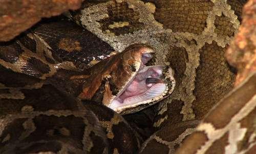 Il pitone moluro è un serpente asiatico molto diffuso nel continente.