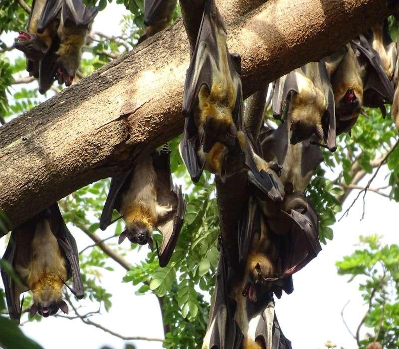 Il pipistrello gigante è un tipo di pipistrello che appartiene alla famiglia dei Pteropodidae. Sono soliti aggregarsi in greggi numerosi.
