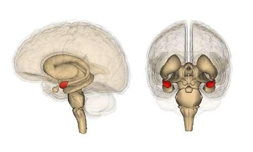 L'amigdala, parte del sistema limbico, è una delle zone danneggiate nei soggetti psicopatici ma non nei soggetti affetti da sociopatia.