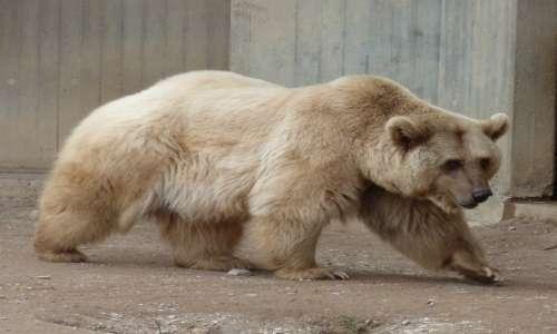 Il colore orso polare è apparentemente bianco: un ibrido con l'orso bruno ha un colore intermedio tra i due.