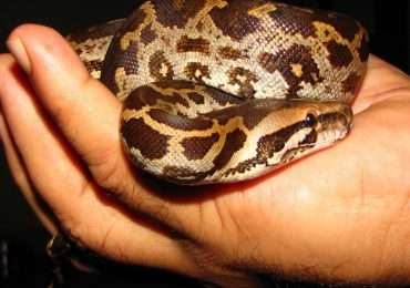 Il pitone moluro è una delle specie di serpenti più allevate in cattività.