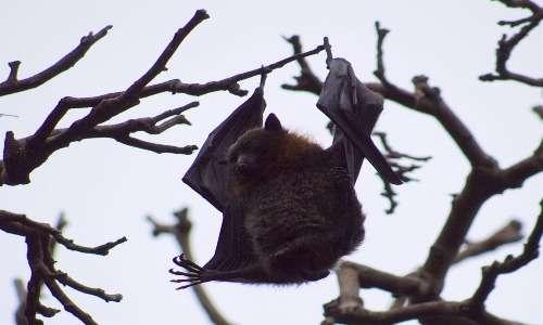 Esemplare di pipistrello gigante avvistato a Sydney.