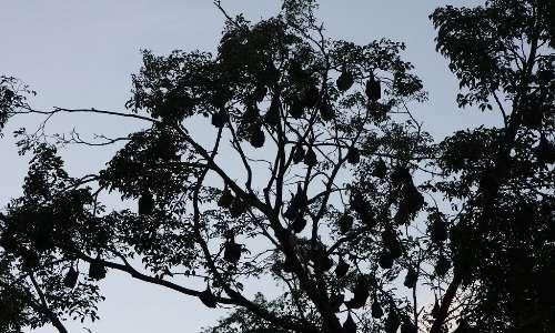 Il pipistrello gigante è un animale notturno; di giorno solitamente si rifugia nelle chiome degli alberi o altri luoghi bui per dormire.