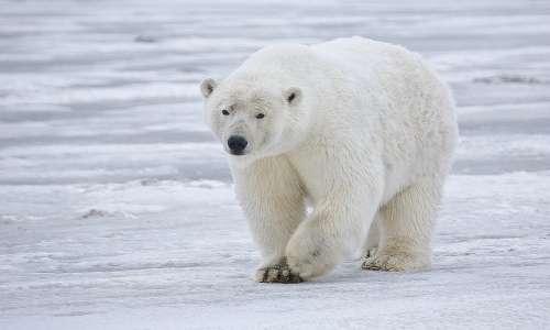 Il colore orso polare non è davvero bianco come vediamo, la sua pelle è nera e i suoi peli tubolari e trasparenti.