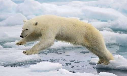 Con l'avanzare dell'età il colore orso polare rimane in apparenza bianco, ma iniziano ad apparire delle macchie giallastre.