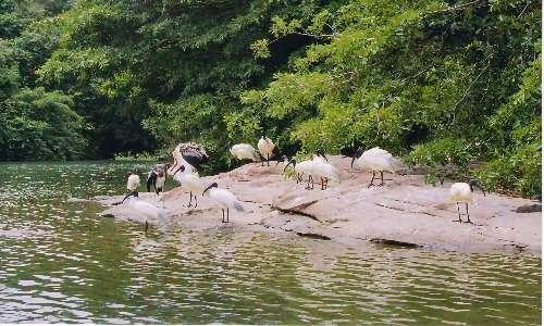 Gli uccelli si riuscono in stormi anche al suolo. In questo modo si difendono dalla predazione quando mangiano o si dissetano.