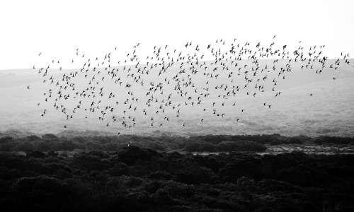 Gli stormi sono gruppi di uccelli. Gli esemplari possono appartenere alla stessa specie o a specie differenti anche se tassonomicamente vicine.