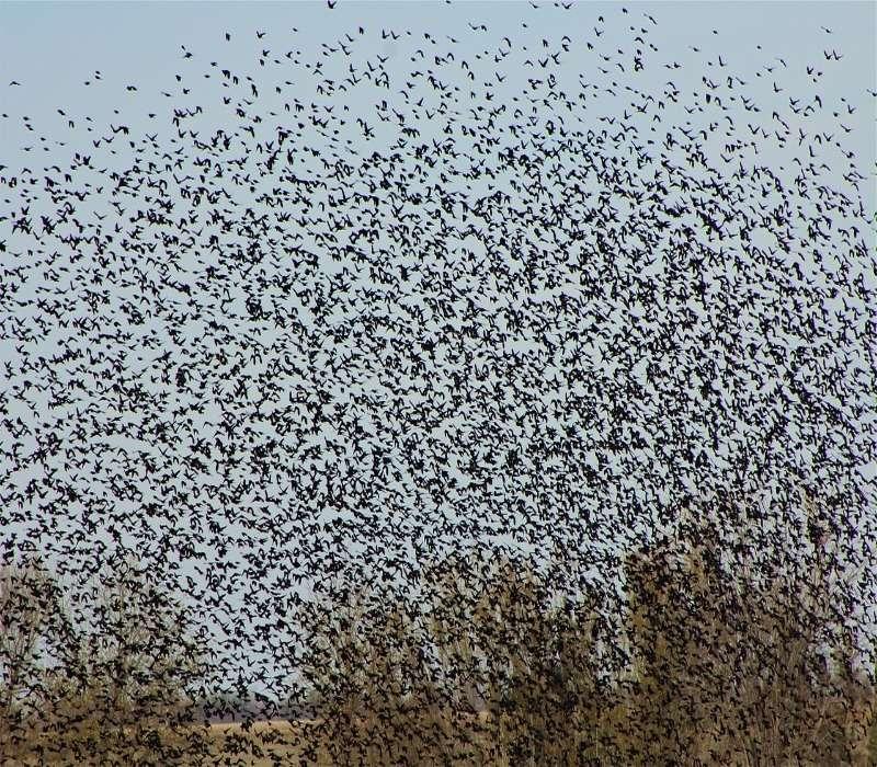 Gli stormi sono insiemi di uccelli che possono contare molti esemplari.