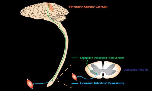 Motoneurone cerebrale che sinapta il motoneurone spinale che a sua volta attiva la fibra muscolare. La stimolazione epidurale bypassa questo schema.