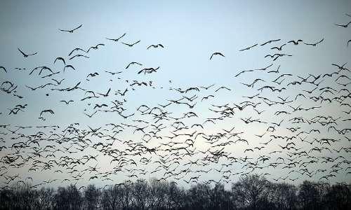 Gli stormi di uccelli, che ne costituiscono gruppi di individui tassonomicamente simili, possono essere anche molto numerosi.