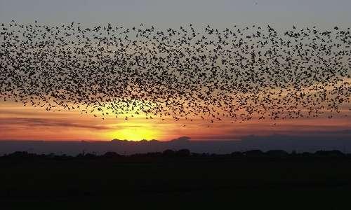 Gli storni europei migrano in stormi per difendersi vicendevolmente. Gli stormi di storni danesi creano il fenomeno del cosiddetto black sun.