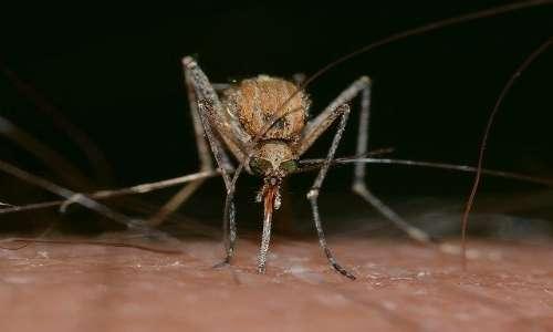 Le zanzare sono animali che trasmettono un gran numero di zoonosi all'uomo.