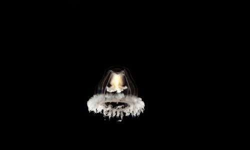 Medusa immortale durante lo stadio adulto. Si osserva la presenza di ombrello e tentacoli.