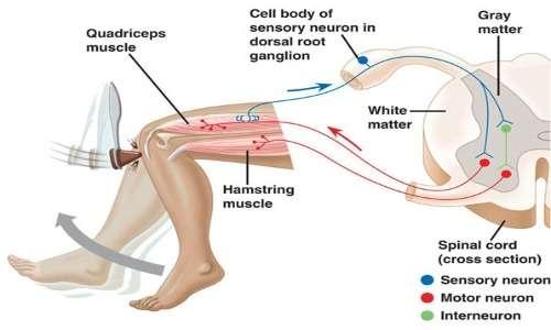 riflesso quadricipitale per controllare l'integrità del neurone spinale attivato da stimolazione epidurale.