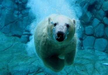 Può sembrare strano, ma il coloredell'orso polare non è bianco. La sua pelle è nera e i suoi peli sono cavi e trasparenti, il bianco proviene dalla luce riflessa dai peli.