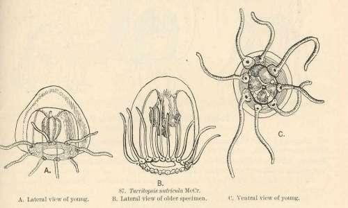 Illustrazione di una turritopsis nutricula, la medusa immortale, vista da diverse prospettive. Si osservano le visioni laterali e ventrali.